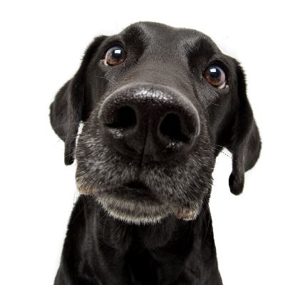 Close up of a black lab dog (jpg)